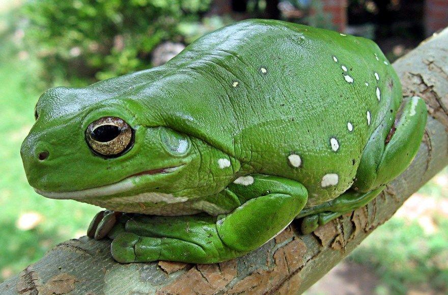 лягушка фото картинки красивая скачать бесплатно онлайн зеленая