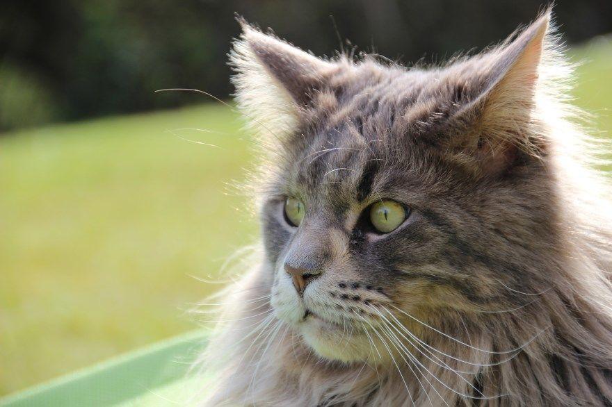 Мейн кун фото картинки порода кошек котов рыжий серый смотреть бесплатно котенок