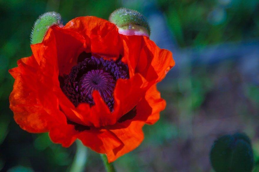 мак фото картинки Скачать ос адрес грик кристе косметика осу олео опиумный миллер булочки рецепты песня макдональдс отзывы цвет мак перуанская суши цветы