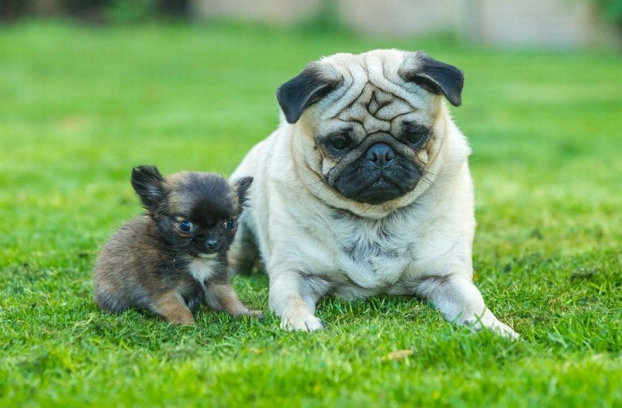 фотографии самые маленькие породы собак название фото скачать бесплатно
