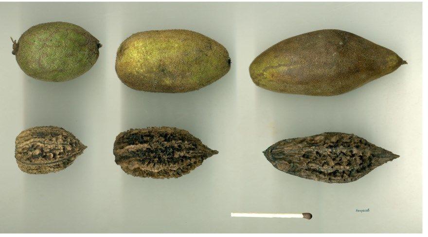 Маньчжурский орех полезные свойства польза вред противопоказания фото купить цена женщин существует грецкий за кг 1 чем полезен день какого спб для мужчин