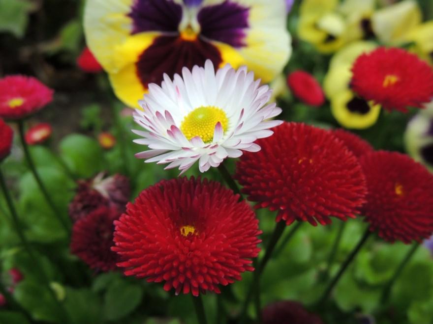 Маргаритка цветок фото многолетней мобильная ромашка посадка фильм цвет кактус манга семена в саду лилии красногвардейская спицами цвет выращивание открытый грунт онлайн читать