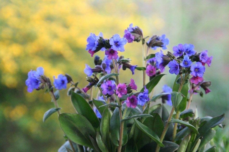 медуница фото уход лекарственный полезными свойствами скачать цветков скачать купить открытый грунт