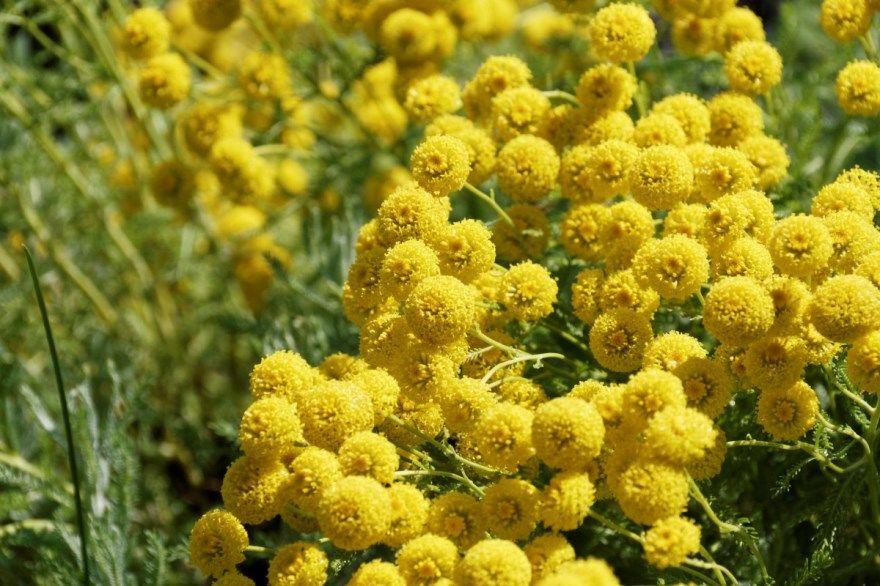 мимоза фото картинки классические магазин купить цветок растение скачать бесплатно лучшие красивые для букета