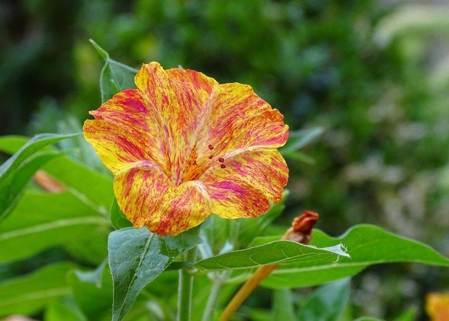 Мирабилис фото посадка уход цветок протеус открытый грунт семена протей ночная выращиваие цвет корень купить в мое сохранить сеем ялапа клубни лечение