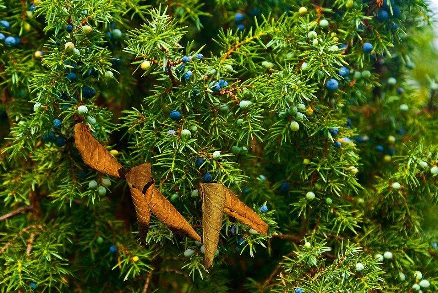 Можжевельник фото картинки растение полезными свойствами осенью казацкого китайского Купить блю посадка скальный обыкновенный сорта горизонтальный виды китайский свойства можно какой виды стар карпет