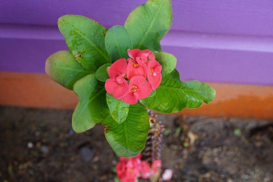 молочай фото картинки с листьями Посадка многолетний садовый комнатный домашний беложильчатый названия можно виды окаймленный треугольный уход кактус виды мили