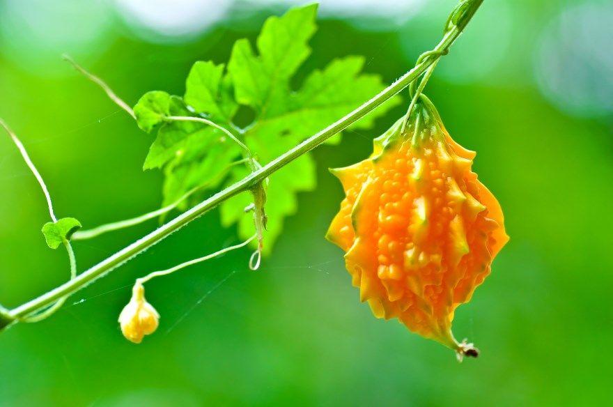 Момордика фото композитум купить семена свойства ее едят отзывы выращивание применение полезыне свойства инструкция растение москва харанция индийский лечебные свойства