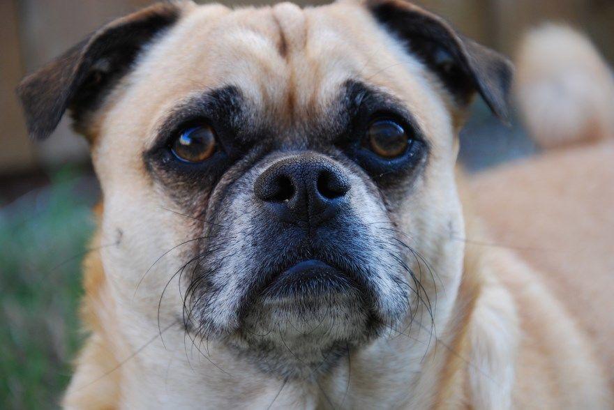 мопс щенки купить фото порода собака цена спб москва авито видео