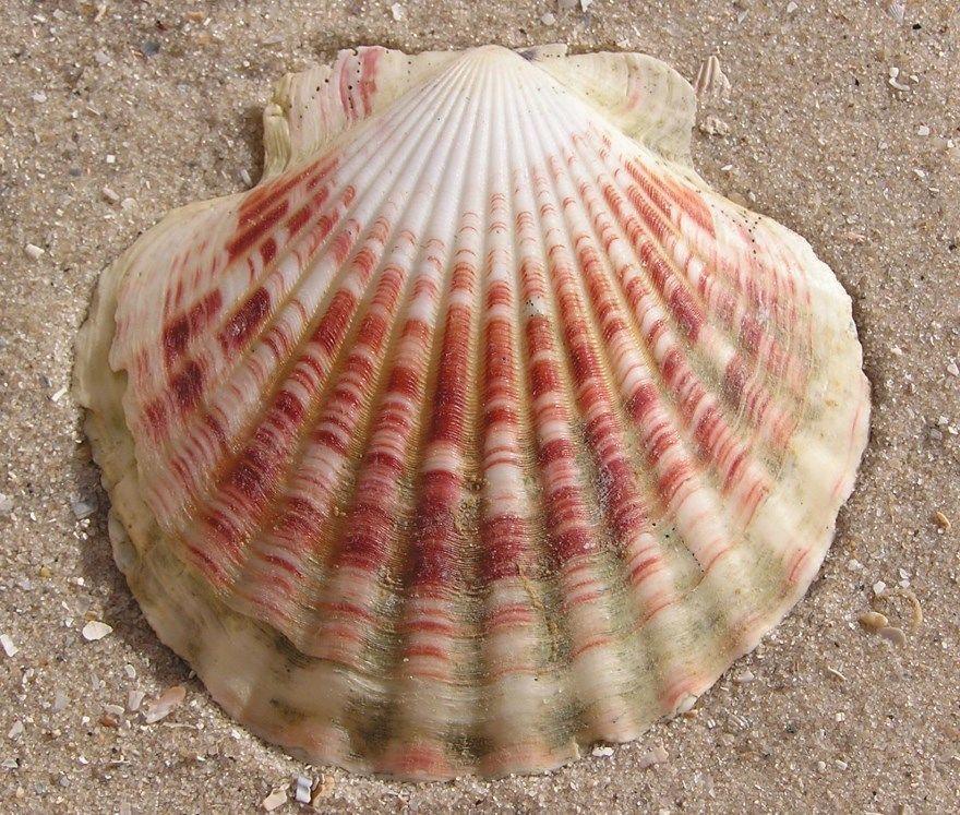 Морской гребешок фото картинки скачать в хорошем качестве онлайн бесплатно смотреть