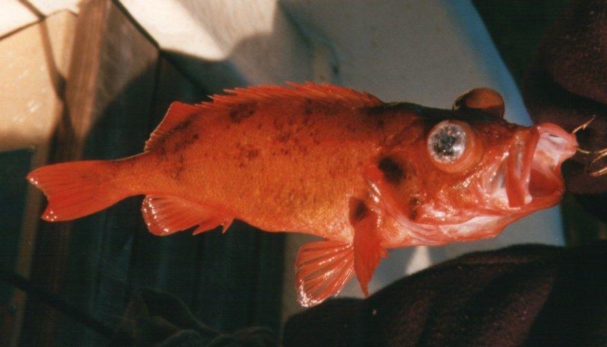Морской окунь фото красивый приготовить вкусно рецепт в домашних условиях красный скачать бесплатно