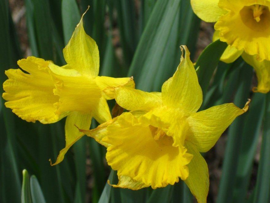 Нарцисс фото цветы осень тульпаны пьер 40 человек луковицы букет какой уход посадка в открытый грунт описание мужчина сорт скачать два заяц салон