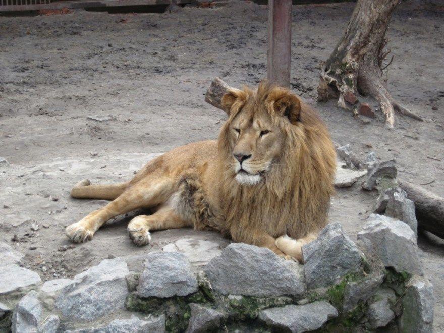 рисунок лев поэтапно для ребенка карандашом бесплатно