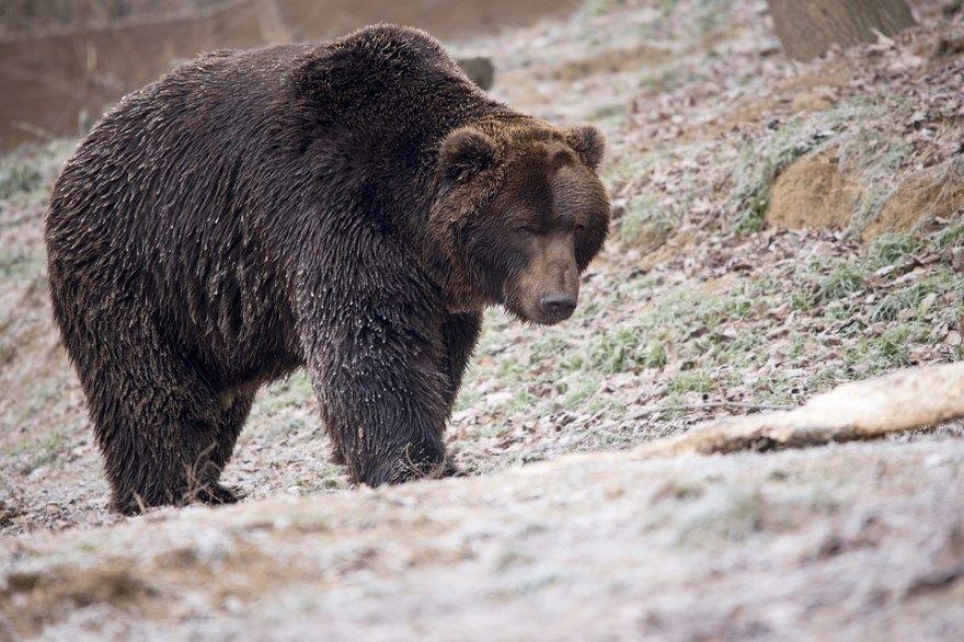 рисунок медведь поэтапно для ребенка карандашом бесплатно