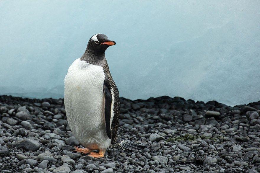 рисунок пингвин поэтапно для ребенка карандашом бесплатно