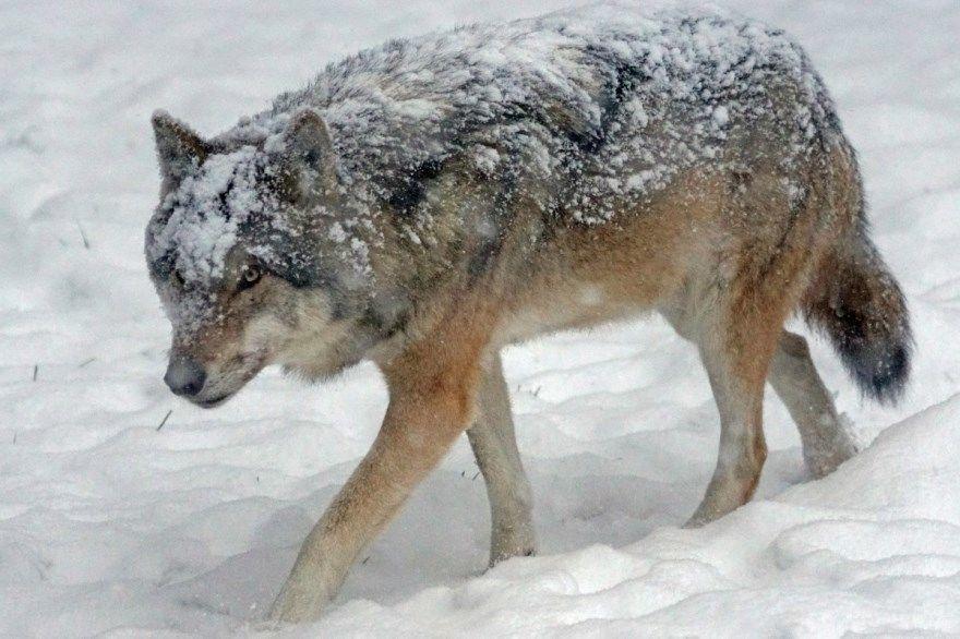 рисунок волк поэтапно для ребенка карандашом бесплатно