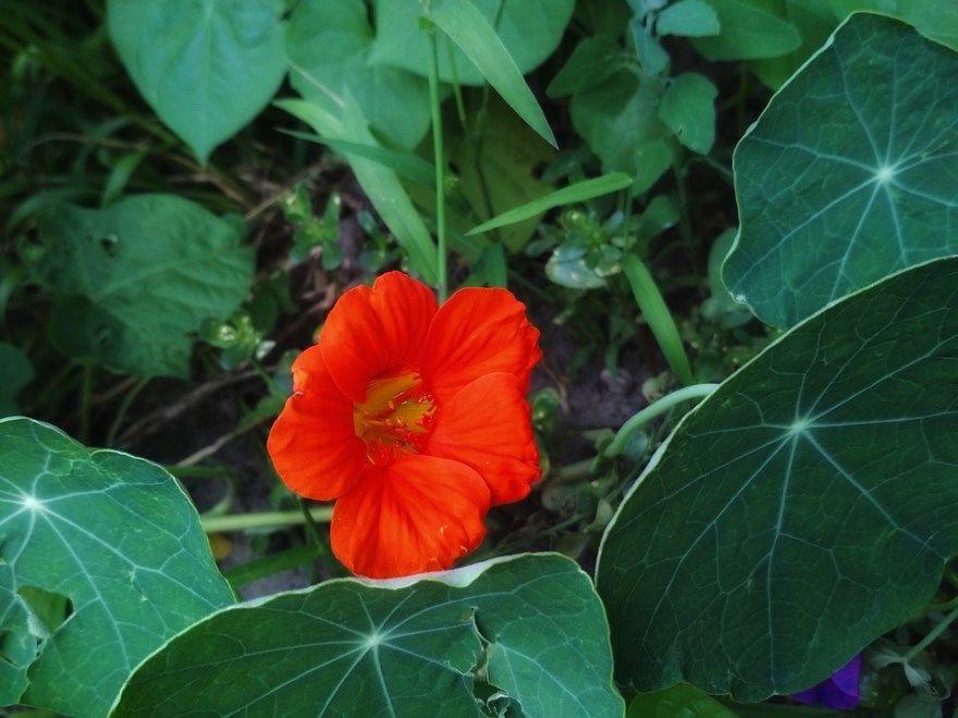 Настурция фото семена цветок посадка уход выращивание георгины горят открытый грунт сажать можно на зиму большая растение на клумбе пьющееся купить