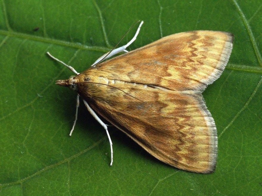 Мотылек ночной фото картинки насекомое купить смотреть бесплатно онлайн