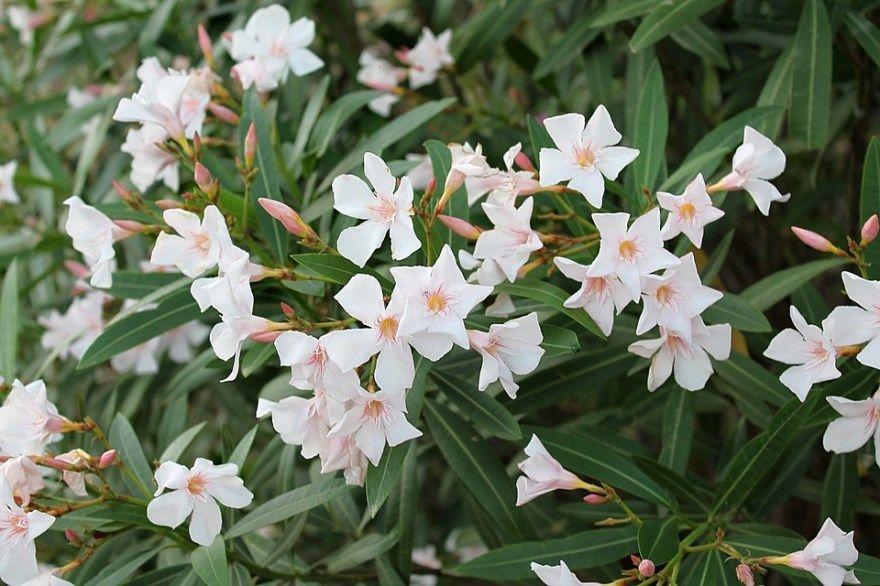 Олеандр фото картинки купить в домашних условиях цветки белый розовый уход за комнатный белые розовые бесплатно смотреть