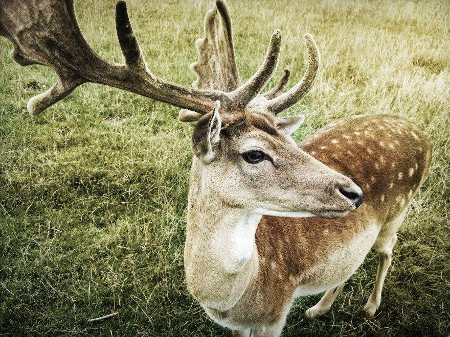 олень фото картинки скачать бесплатно онлайн в хорошем качестве животное дикий большой