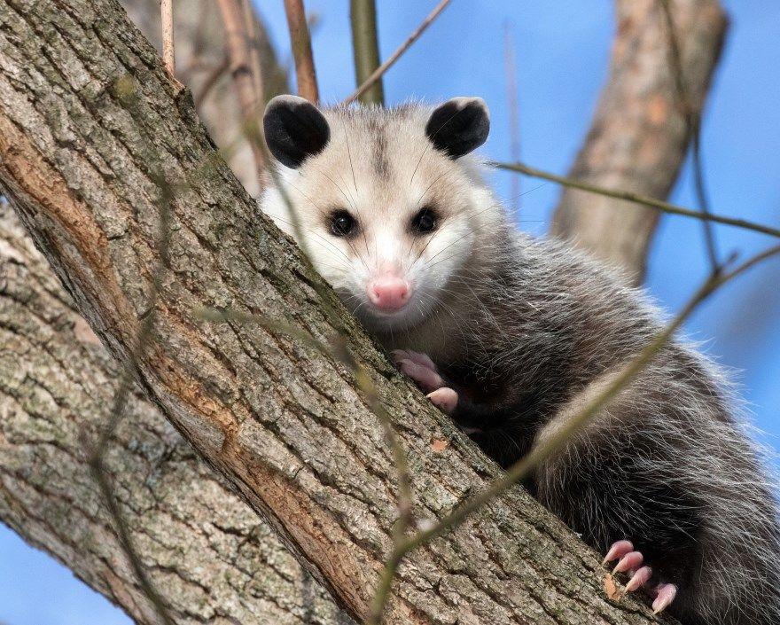 опоссум фото картинки скачать бесплатно онлайн в хорошем качестве животное дикий