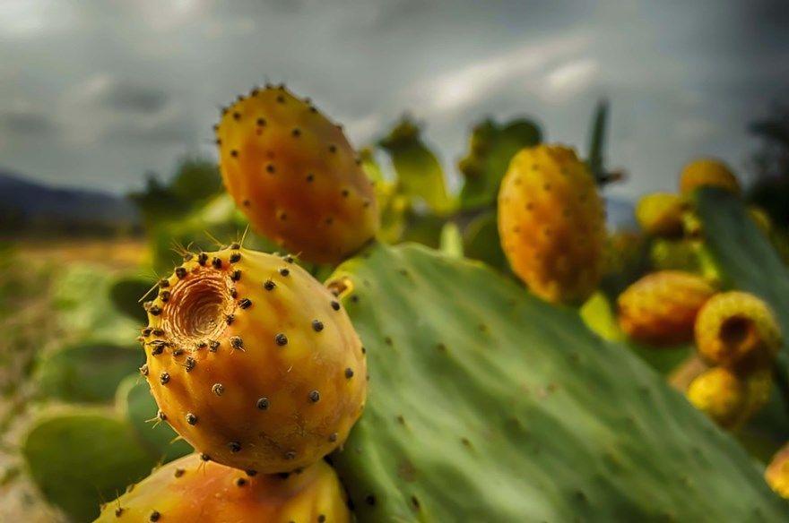 Опунция кактус фото инжирная купить виды плоды свойства полезные аптека похудение экстракт мелковолосистая домашние условия отзыв растение тунис комнатный