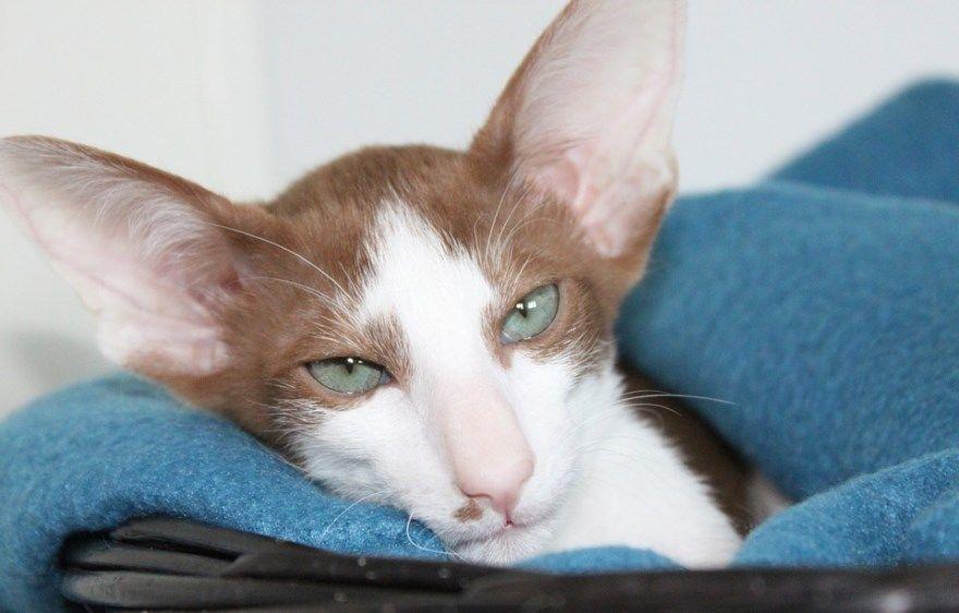 Ориентальной породы кошка кот фото питомник купить глаза описание название окрас характер