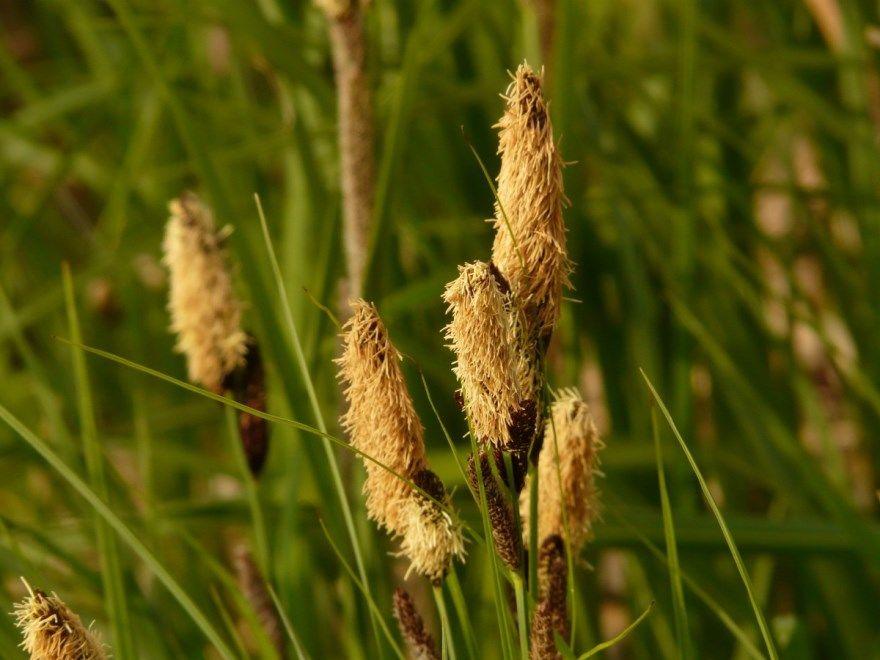 Осока слово кусты аист осина рассказ трава фото песня декоративная предложение синяя лягушка цветок слушать над рекой