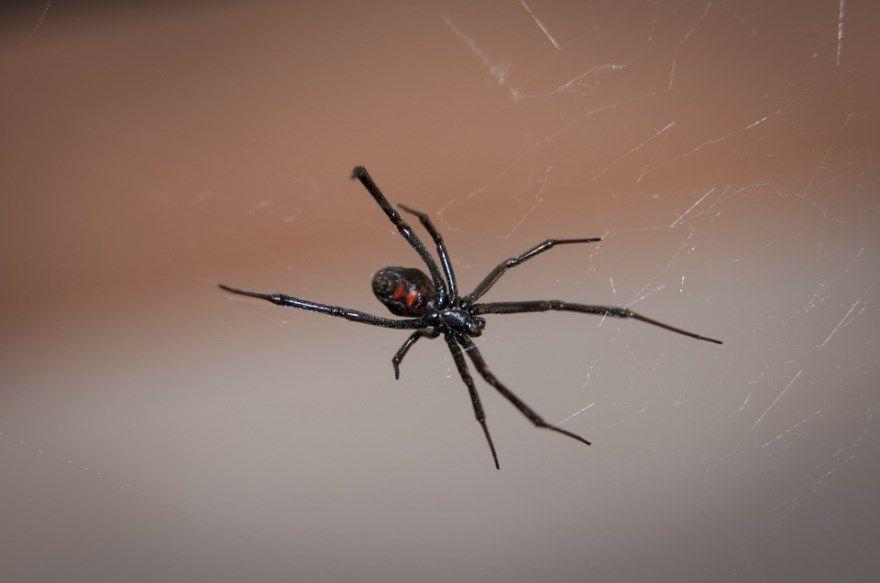 Паук насекомое фото картинки ядовитый черная вдова птицеед каракурт тарантул большой крым башкирия