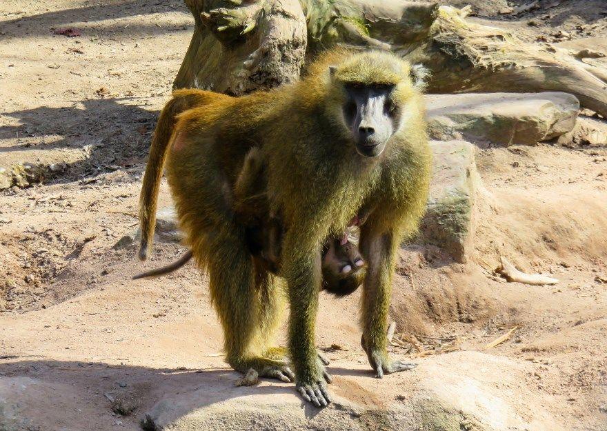 обезьяна павиан фото картинки скачать бесплатно онлайн в хорошем качестве животное
