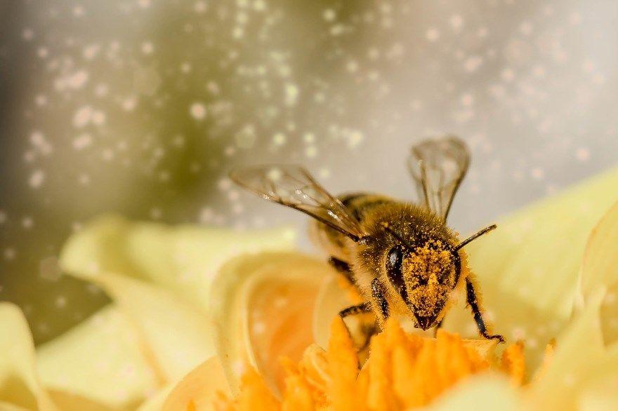 Пчела фото картинки медоносная дикая как выглядит смотреть крупным планом бесплатно скачать онлайн красивые