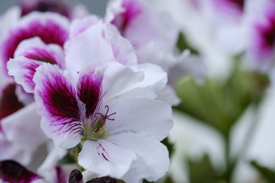 Пеларгония фото купить цветок королевская семена описание зональная сорта уход плющелистная домашняя черенки условия розебудная рас toscana герань почтой осенью форум
