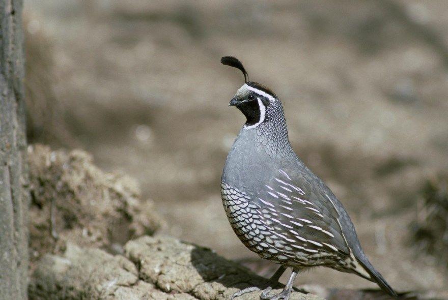 Перепелка животное птица картинки фото онлайн лучшие красивые скачать смотреть бесплатно