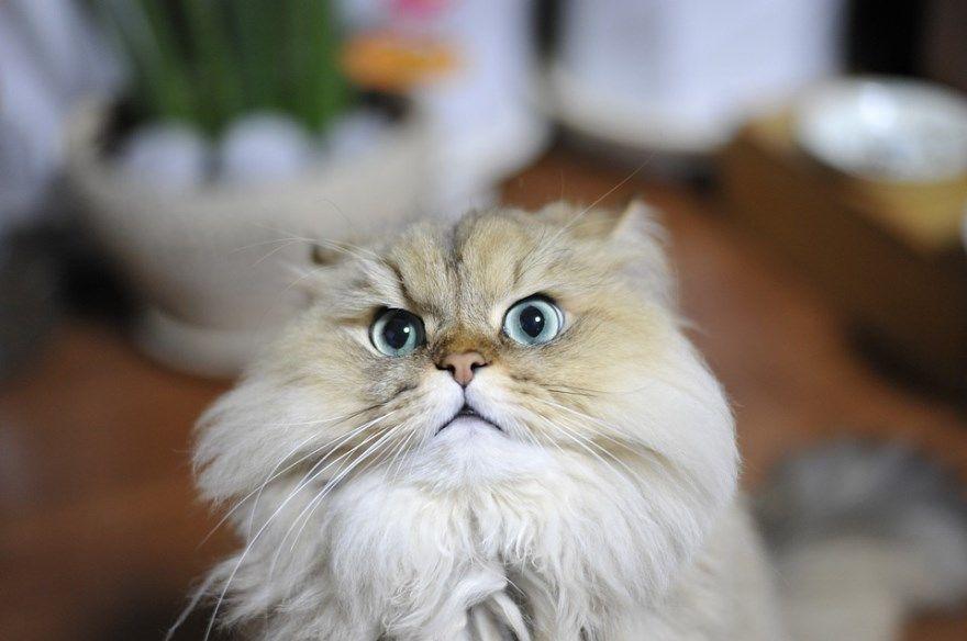 Персидская порода кот кошка окрас белый глаза фото картинки скачать бесплатно лучшие фото картинки купить