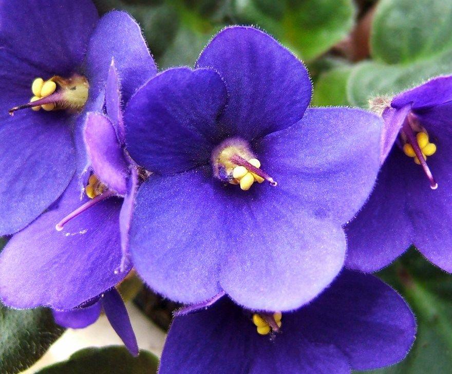 Фиалка фото картинки домашней условия бесплатно скачать бесплатно цветок растение питомник магазин