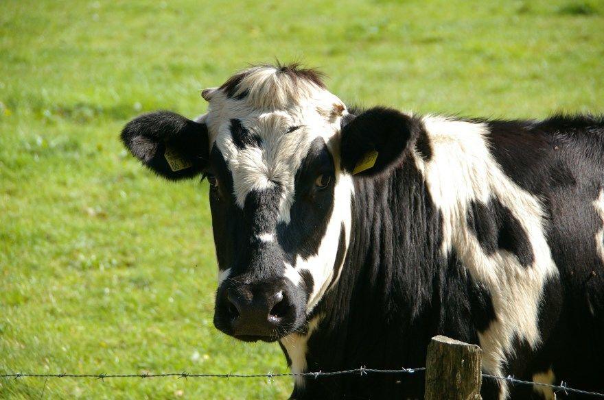 Корова картинки фото скачать лучшие купить для детей