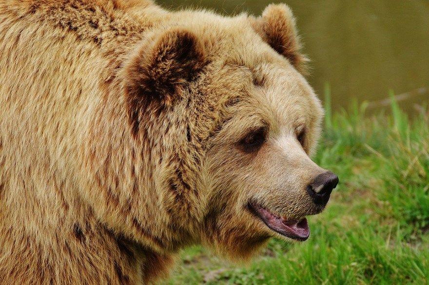 медведь белый картинки фото в хорошем качестве бурый гризли смотреть онлайн бесплатно скачать видео купить