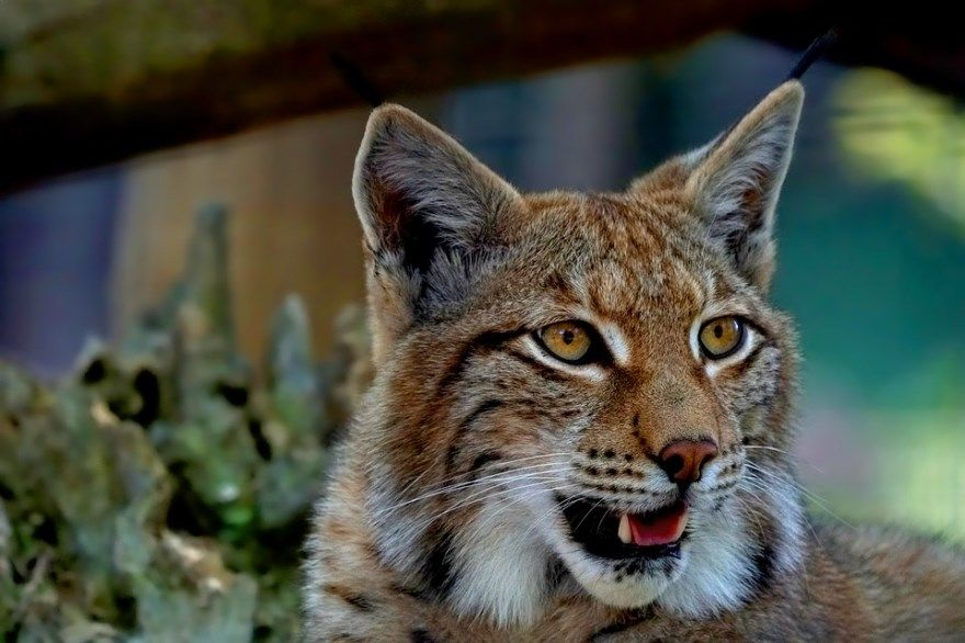 рысь фото картинки котята катя скачать фильм нива цена скачать бесплатно