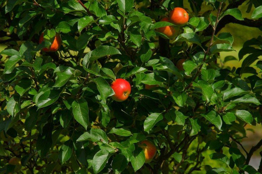 Яблоня описание сорта фото описание отзывы сорта осенью колоновидная обрезки цветущая груши сорта купить саженцы какие росла можно песня весной