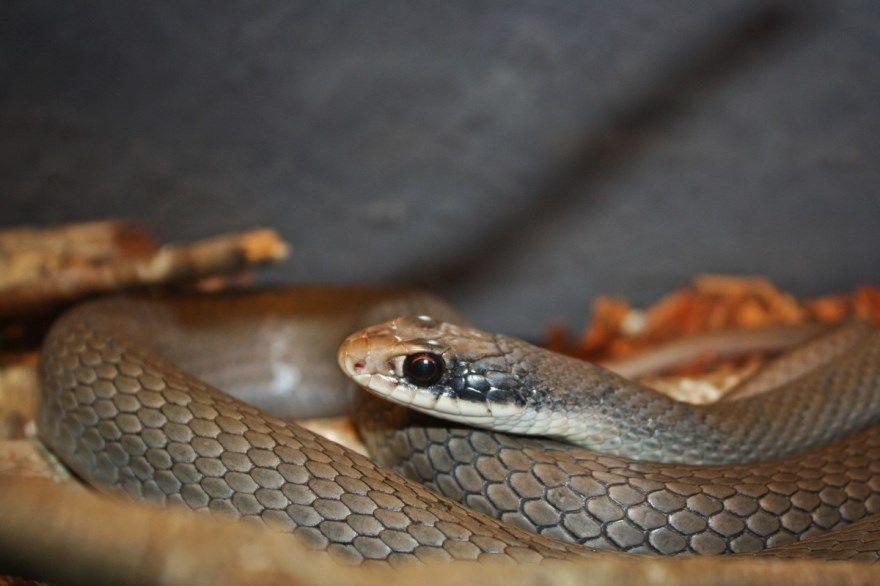 Змея ядовитая фото картинки животное пресмыкающееся укус купить бесплатно онлайн мамба черная