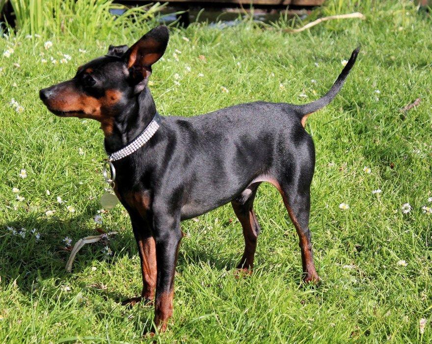 доберман пинчер мини щенки купить фото порода собака цена спб москва авито видео