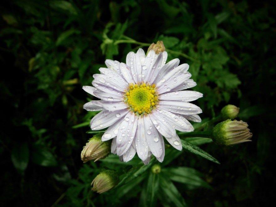 Пиретрум купить фото порошок посадка уход девичий аптека цветы открытый грунт где ромашка насекомые отзывы выращивание робинсон выращивание клоп