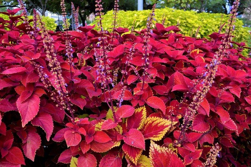 Плектрантус фото уход домашние условия виды цветок комнатный мята сорта можно разновидности полезные свойства мона употреблять дома в чай ароматный