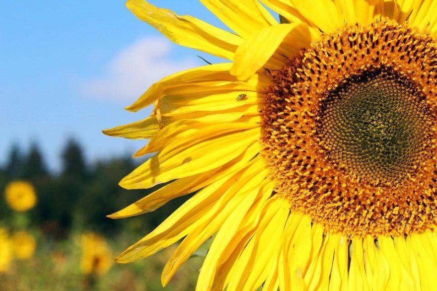 Подсолнечник семена купить гибриды лузга уборка 2018 масло польза вред корень отзывы пеллеты при посеве сорта сеять сингента домашние условия многолетняя