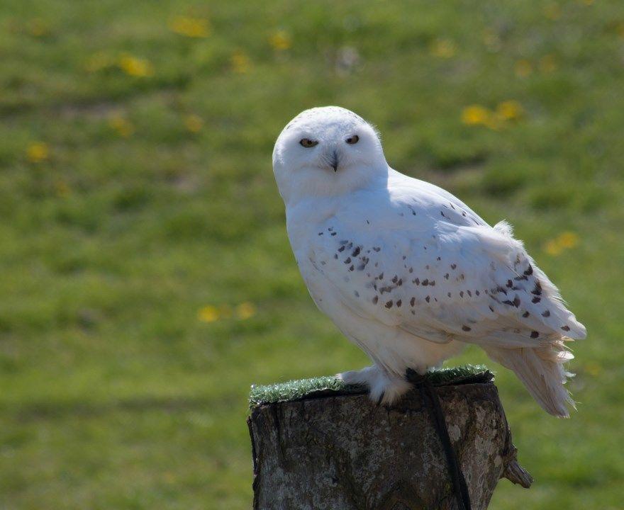 полярная сова фото картинки скачать бесплатно онлайн в хорошем качестве