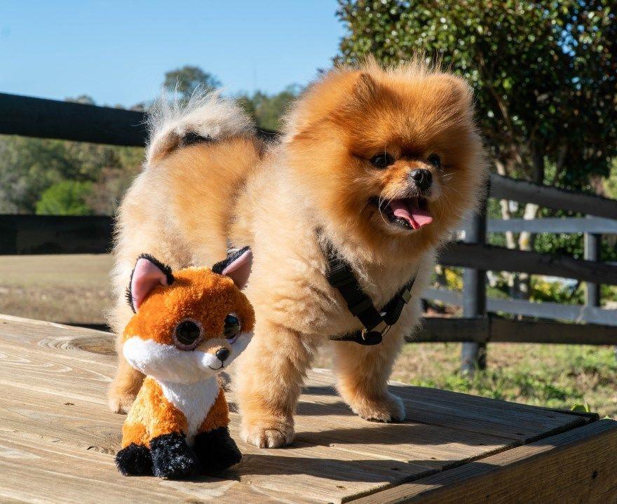 померанский шпиц щенки купить фото порода собака цена спб москва авито видео