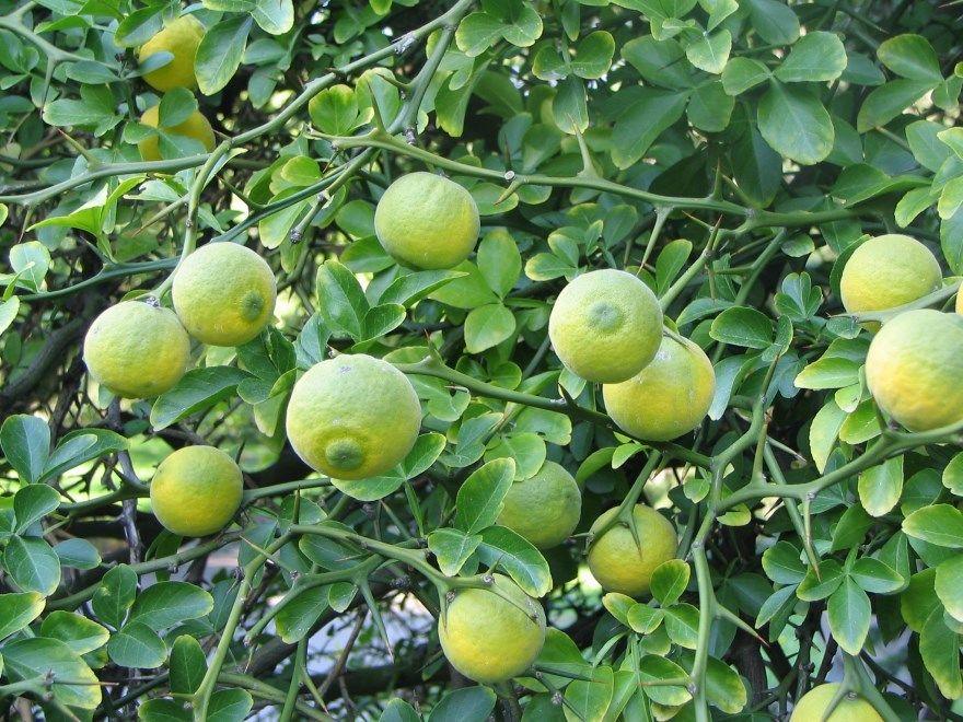 Понцирус трехлисточковый трифолиата купить плоды выращивание лимон дикий фото краснодаре семена