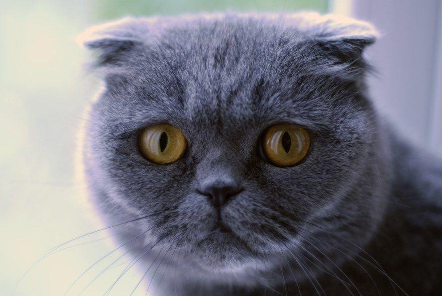 Породы кошек котов фотографии названия подписи сиамская британская шотландская сфинкс русская бенгальская сибирская бобтейл манчкин абиссинская ориентальная персидская вислоухие