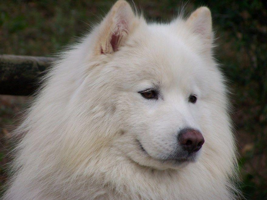 самоедская лайка щенки купить фото порода собака цена спб москва авито видео