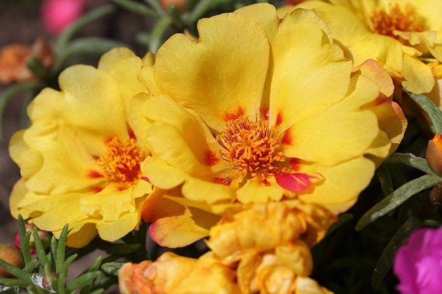 портулак фото картинки огородного с полезными свойствами купить Рецепт в открытом грунте посадка уход цветы можно купить махровый сажаем выращивание семян на зиму сорняк лекарство приготовления